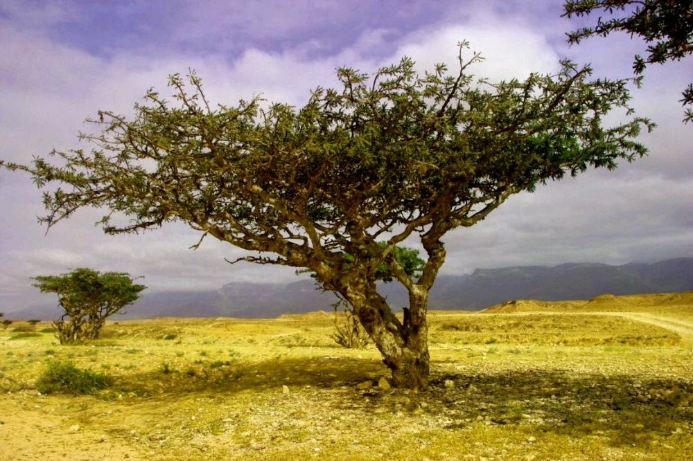 frankincense-tree